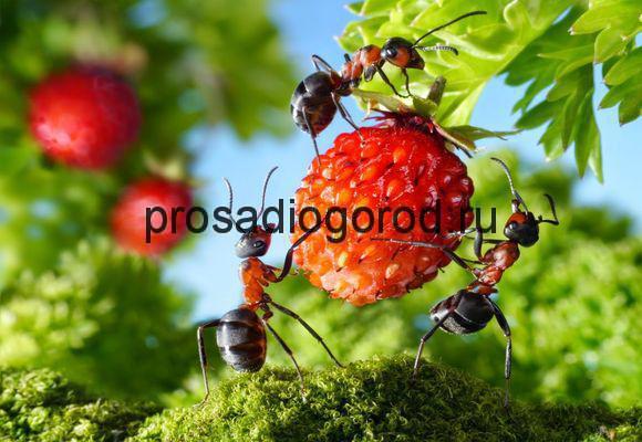 борьба с муравьями на клубнике
