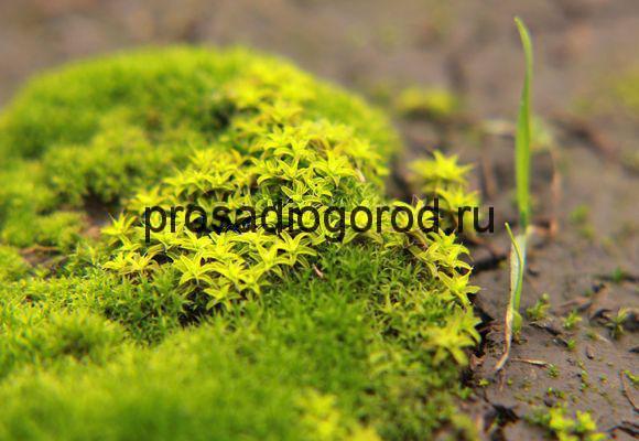 мох в огороде
