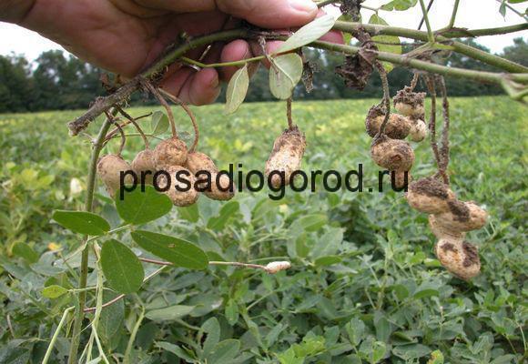посадка арахиса на огороде