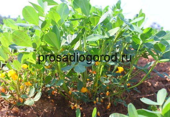 выращивание арахиса на огороде