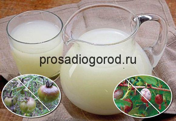 молочная сыворотка как удобрение на огороде