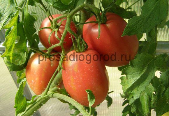 помидоры сорта рио гранде