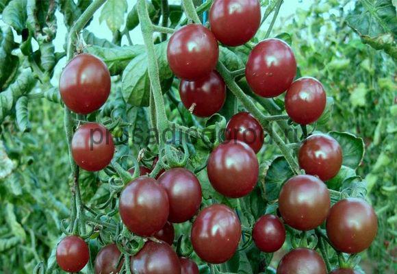 сорт томатов черри