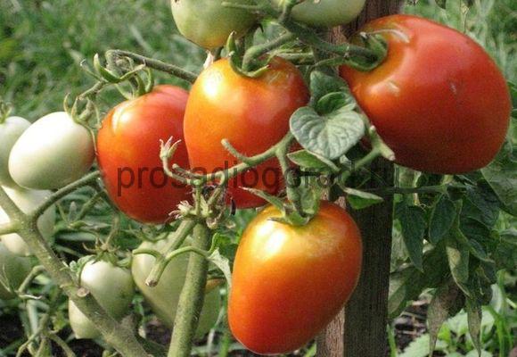 помидоры челнок уход и выращивание