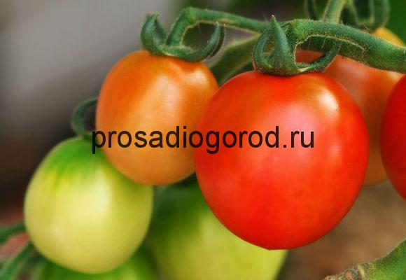 томат новичок выращивание помидора