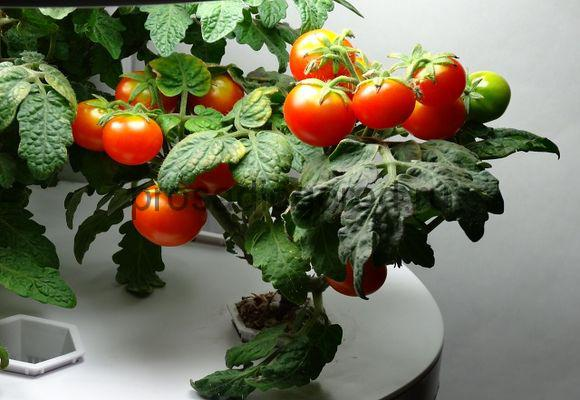 помидоры черри на подоконнике