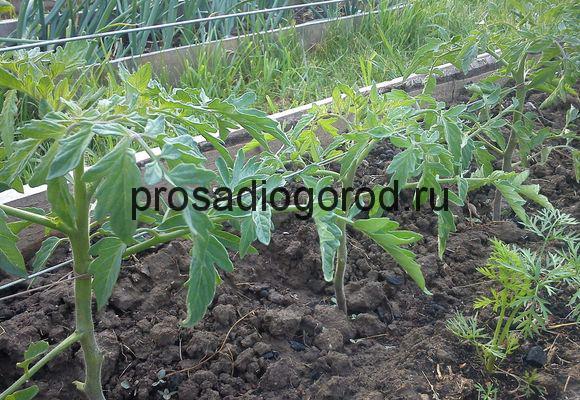 выращивание томата по митлайдеру