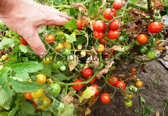 томаты черри в открытом грунте выращивание