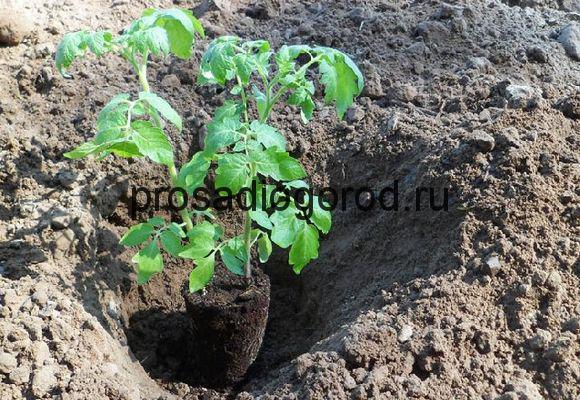 пересадка помидоров в открытый грунт