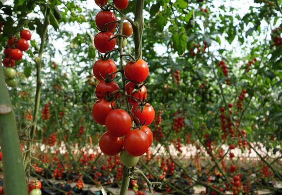 помидоры черри в открытом грунте