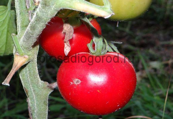 томат дубрава дубок сорт