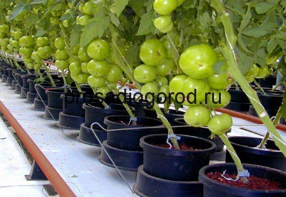 помидоры в ведрах выращивание