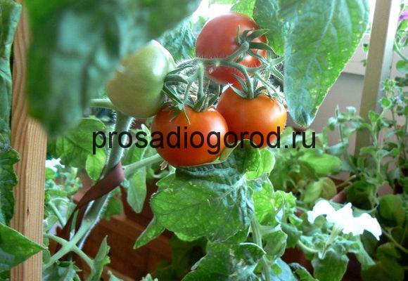 выращивание помидоров на подоконнике зимой