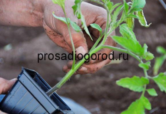 пересадка рассады помидоров в грунт