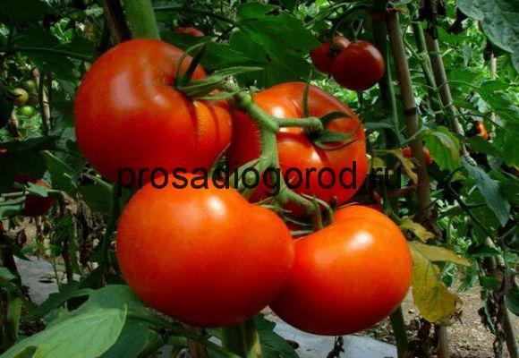 томат белый налив описание