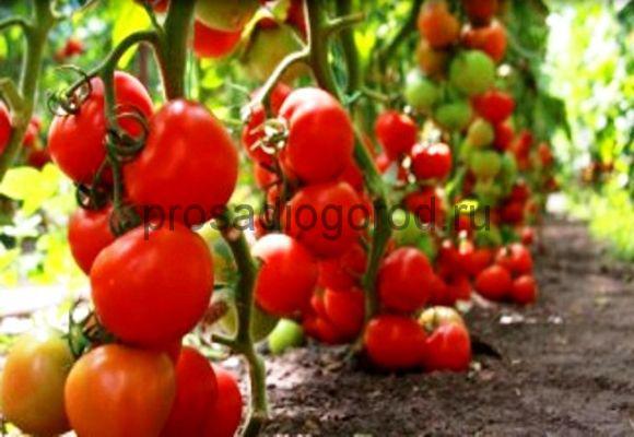 томат сибирский скороспелый в открытом грунте