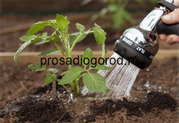 полив помидоров в открытом грунте