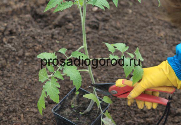 обрезка помидоров в открытом грунте