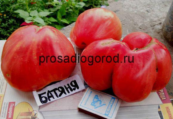 сорт помидор батяня выращивание