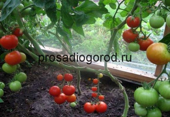 сорт томатов для выращивания дома