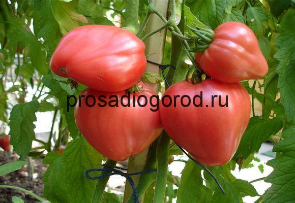 сорт помидор бычье сердце красное