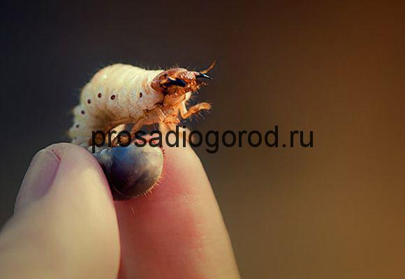 личинки майского жука на клубнике