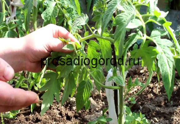 как пасынковать помидоры в грунте