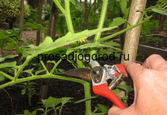 пасынкование помидор в открытом грунте