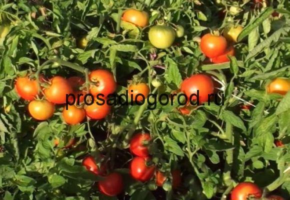 помидоры ляна описание
