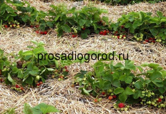выращивание клубники в сибири