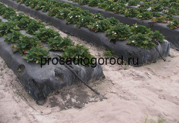 выращивание клубники под агроволокном