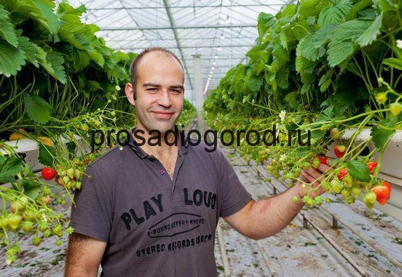 голландский способ выращивания клубники