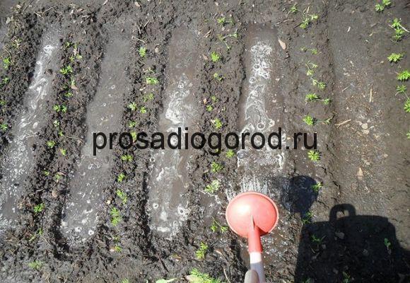 как поливать морковь