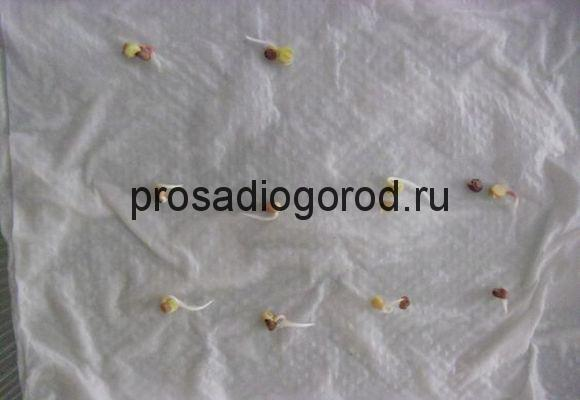 семена на мокрой марле