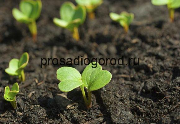 пророщенные семена редиски
