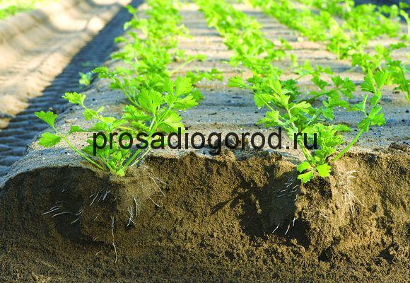 технология выращивания сельдерея