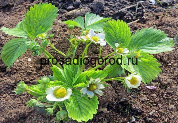 как вырастить клубнику весной