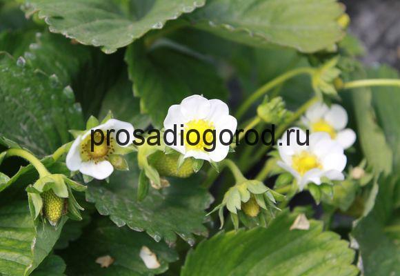 уход за клубникой во время цветения