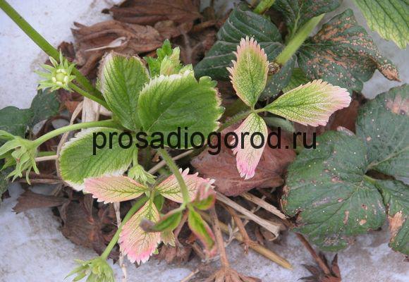 гербициды для клубники