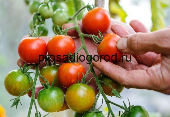 урожай помидор в теплице
