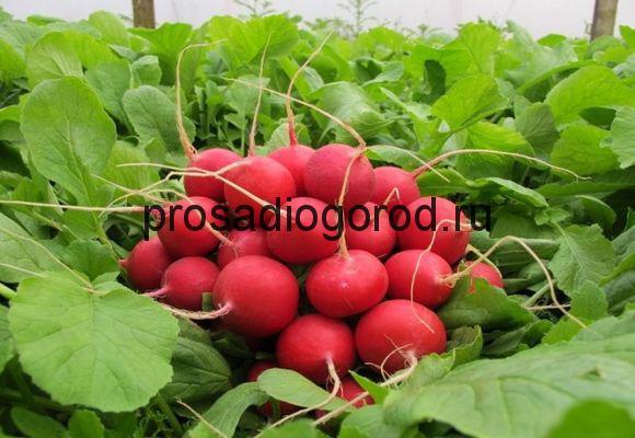 Выращивание редиса в открытом грунте: правила 76