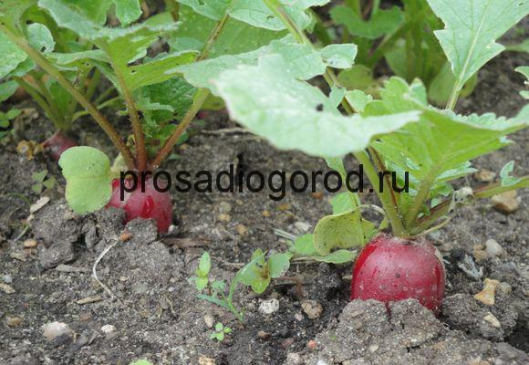урожай редиса на огороде
