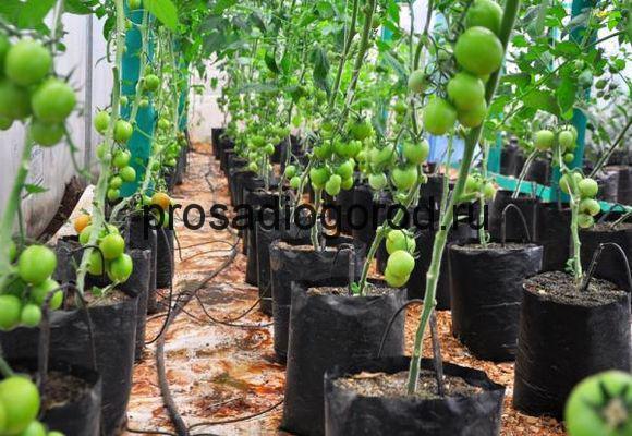температурный режим для томатов