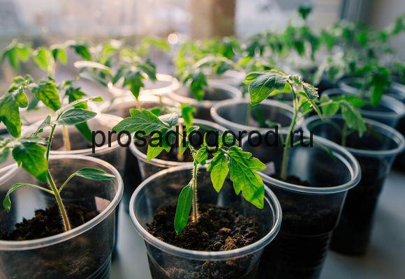 выращивание рассады помидор