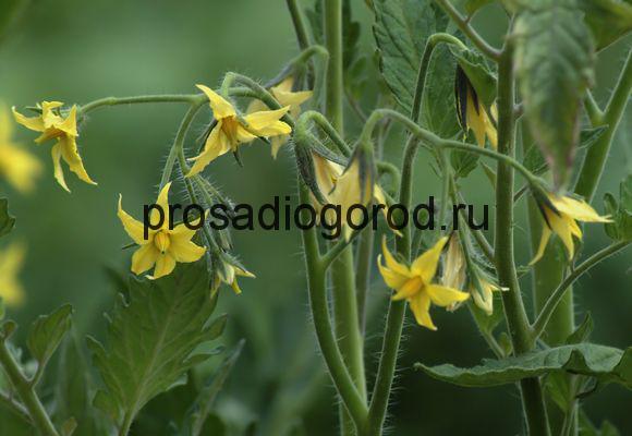 цветение куста томата