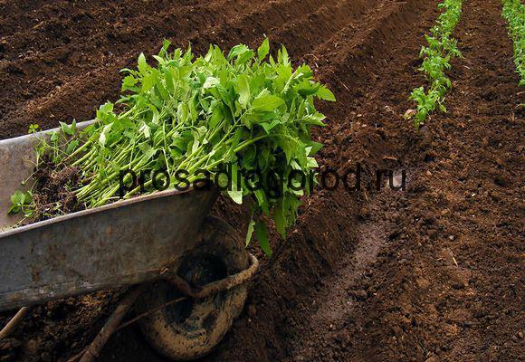 высадка томатных кустов