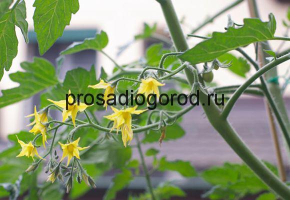 цветущий куст томата