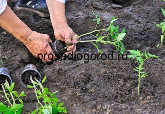 пикирование рассады томатов в грунт