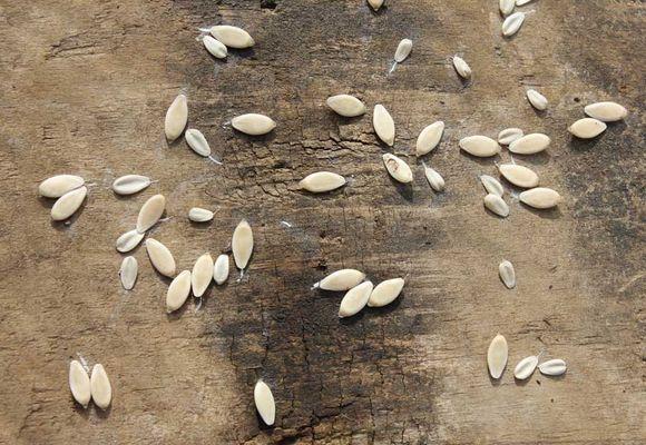 обработка семян огурцов