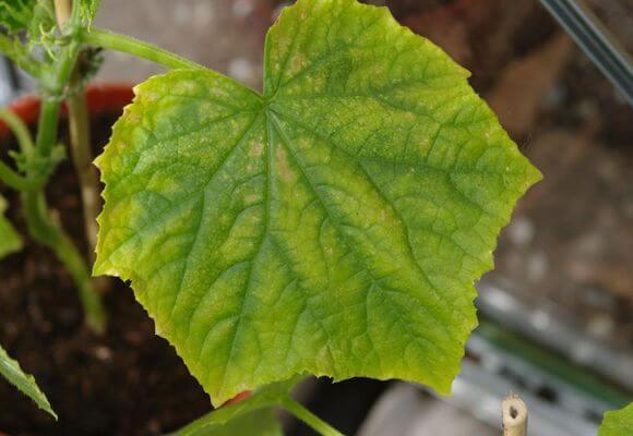 лист огурца